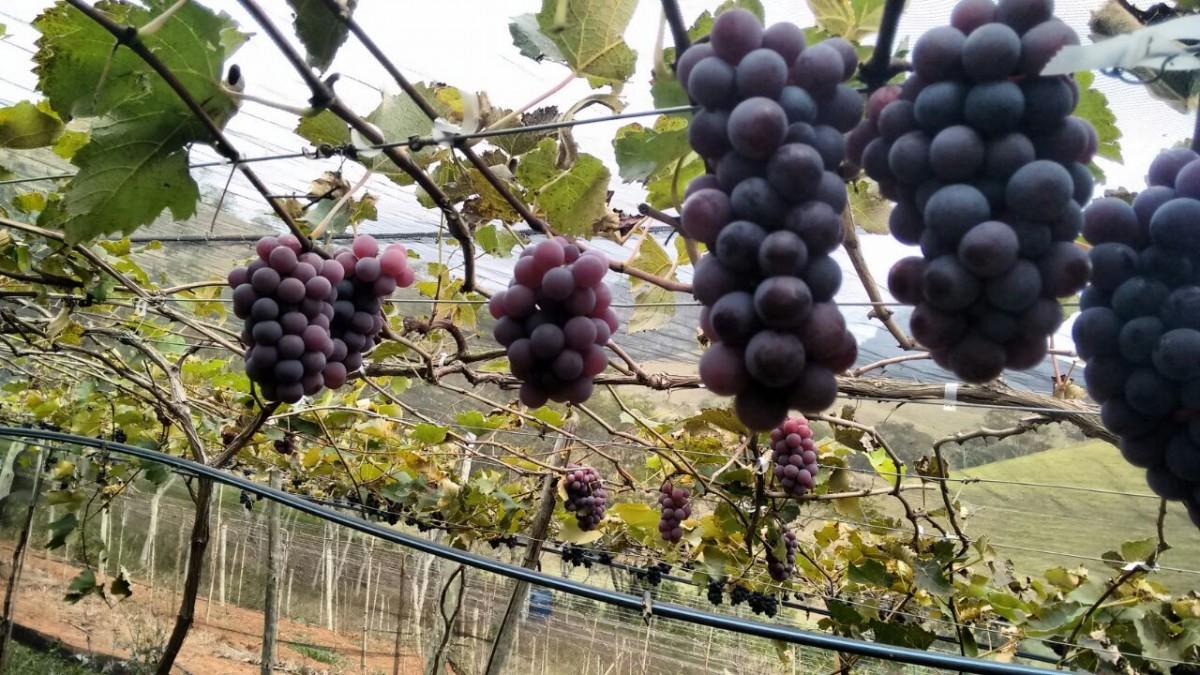 A uva Niagara Rosada esta dando bons resultados no interior fluminense. Ela e popular por ser mais doce